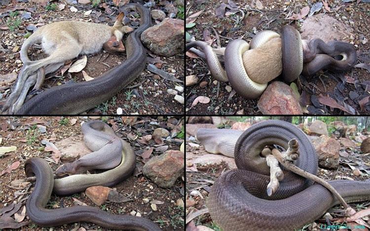 Cảnh tượng những con trăn khổng lồ giết chết, ăn tươi nuốt sống những con kangaroo con là điều không hiếm ở Australia.