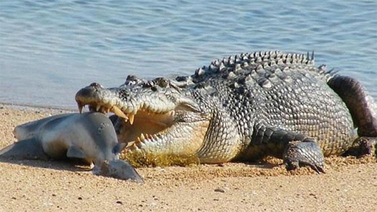 Cá sấu xơi tái cá mập.