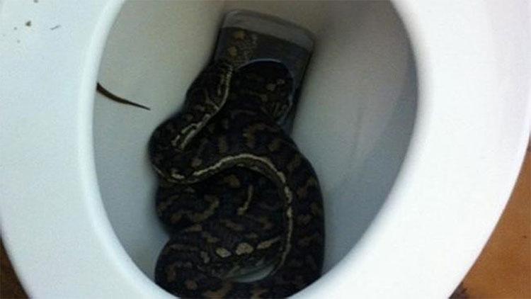Những con trăn đáng sợ thường xuyên được tìm thấy mắc kẹt trong nhà vệ sinh của gia đình người dân Australia.