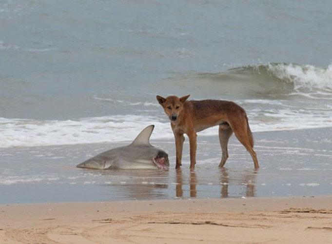 Chó hoang Dingo ăn thịt một con cá mập trên bờ.
