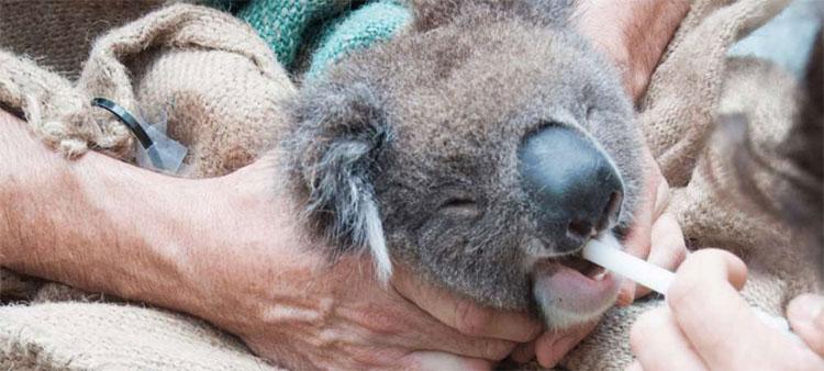 Gấu Koala đã quen ăn lá manna gum quá lâu rồi, nên việc thay đổi tập tính là không dễ.