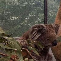 """Chúng ta đã có cách cứu lấy loài gấu Koala, nhưng nó hơi """"kinh"""" một chút"""