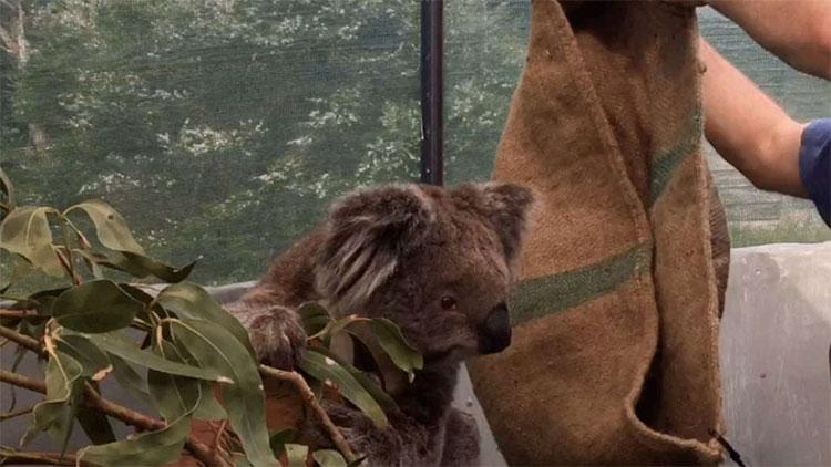 Koala là loài khá khảnh ăn.