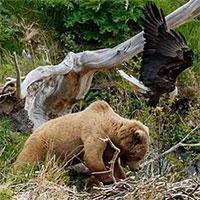 Mò vào tổ đại bàng, gấu nâu bị tấn công túi bụi