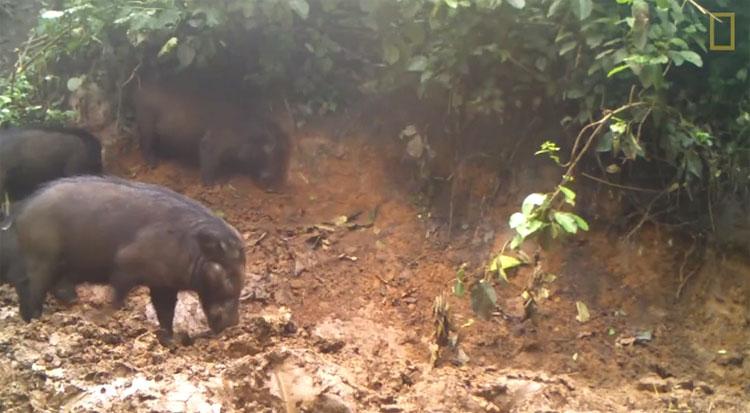 Lợn rừng Hylochoerus meinertzhageni.