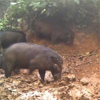 Hình ảnh hiếm gặp của loài lợn lớn nhất thế giới