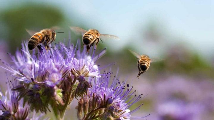 Ong tham gia tìm mật trong một thời gian dài hay ở tần suất cao sẽ bị suy giảm khả năng học các mùi vị mới.