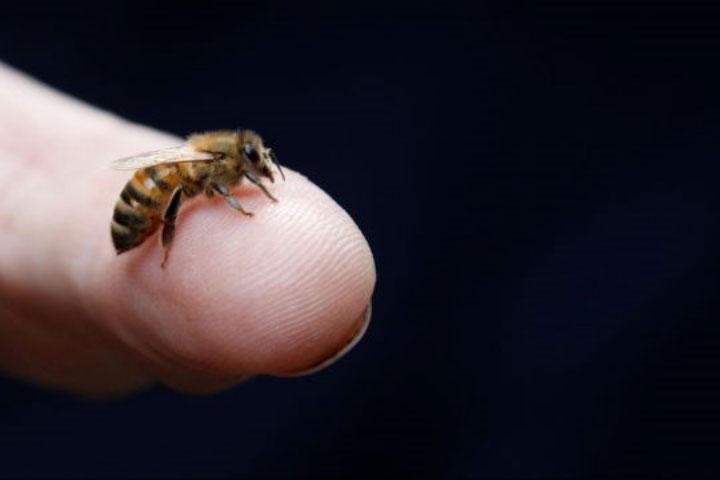 Hành trình lấy mật xa xôi đầy stress nói trên khiến khả năng giải quyết vấn đề của loài ong bị sụt giảm.