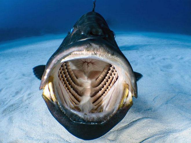 Hình ảnh bên trong miệng một chú cá khổng lồ đang ngoác mồm.