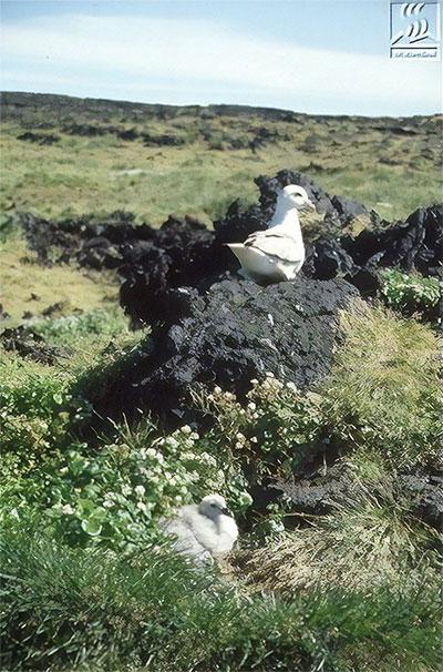 Hải âu fulmar và chim guillemot là hai trong số những loài động vật có mặt trước tiên trên Surtsey.