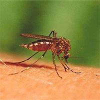 """Cuộc """"yêu"""" tử thần giúp con người thoát khỏi muỗi?"""