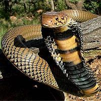 Màn kết liễu khủng khiếp khi hai loài rắn kịch độc tử chiến