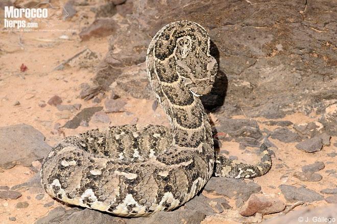 Rắn hổ phì có kích thước khá khiêm tốn, chỉ dài khoảng một mét.