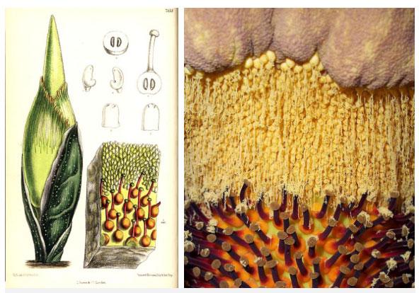 Phân tích sinh học bên trong hoa Amorphophallus Titanum, bạn có thấy phấn hoa cũng khổng lồ luôn không?