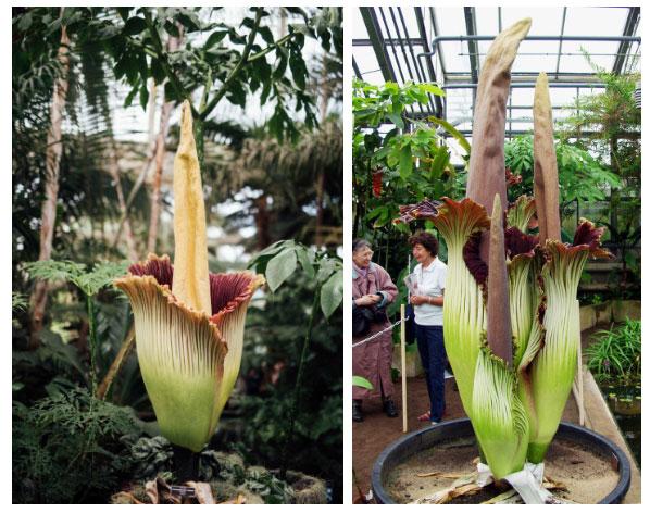 Hoa Amorphophallus titanum.