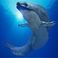 """""""Siêu"""" cá voi có kích cỡ ngang với khủng long"""