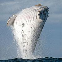 Cá voi lưng gù 20 tấn phi thân dựng đứng trên mặt biển