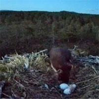 Chồn thông trèo vào tổ chim ưng trộm trứng