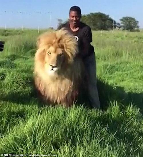 Mike Thulani đang gãi lưng cho con sư tử tên là Smokey.