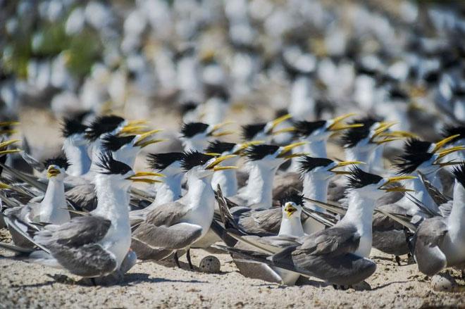 Khoảng 100 loài chim biển của Philippines sinh sống tại Tubbataha