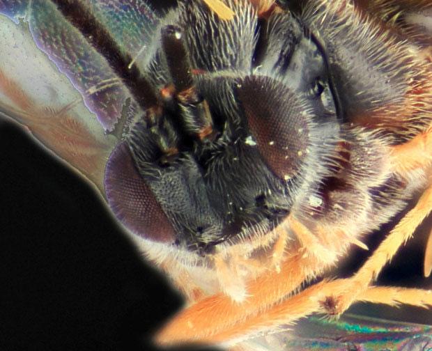 Dolichogenidea xenomorph đẻ trứng lên cơ thể sâu bướm.