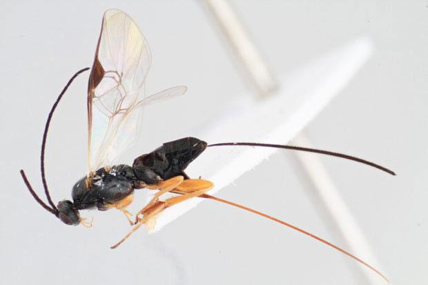 Loài ong biết kiểm soát hành động con mồi như sinh vật ngoài hành tinh.