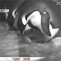 Chim cánh cụt mẹ làm rơi trứng, cả đàn lao tới cứu nguy