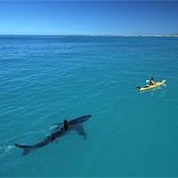 """Hai du khách Úc hốt hoảng, thở gấp giữa biển vì bị cá mập trắng """"theo đuổi"""""""