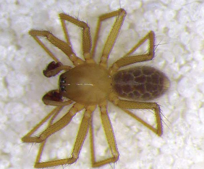 Cận cảnh loài nhện mới phát hiện tại bang Indiana, Mỹ