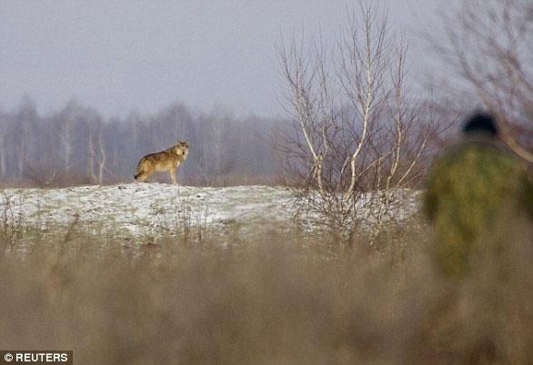 Một con sói đã mạo hiểm vượt ra ngoài ranh giới CEZ, có thể lây lan gene đột biến cho các loài động vật khác.