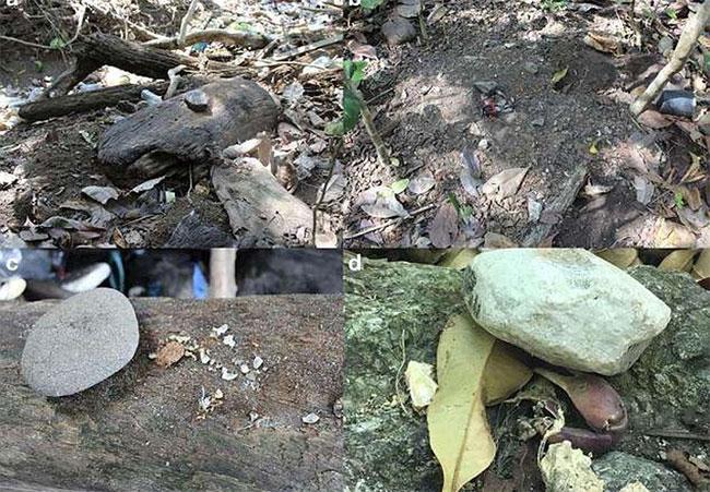 Công cụ bằng đá, gỗ và vỏ sò được khỉ sử dụng để bảo quản thức ăn