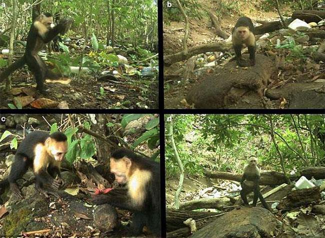 Hình ảnh cho thấy khỉ mũ mặt trắng thao tác với nhiều công cụ đá khác nhau