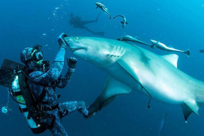 Nhiếp ảnh gia kiêm thợ lặn đã dùng một dạng thôi miên có tên Tonic Immobility để thôi miên cá mập.