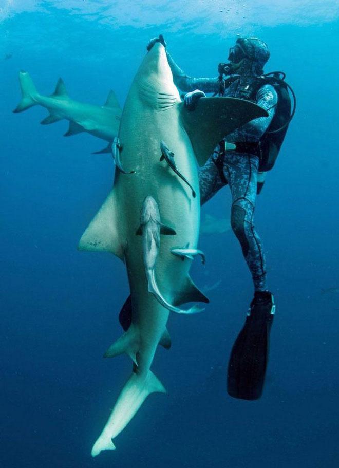 Cá mập chanh không hẳn là một loài nguy hiểm.