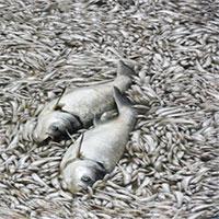 """Ban quản lý hồ Tây: """"Cá chết nhiều có thể do thay đổi thời tiết"""""""