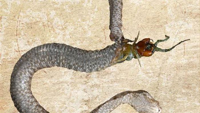 Con rết tấn công ngược trở lại từ bên trong bụng con rắn để thoát thân.