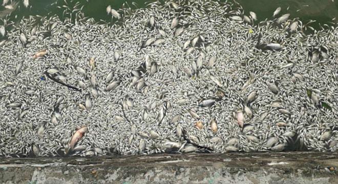 Cá chết nổi trên mặt nước Hồ Tây.