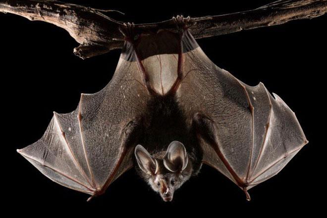 Một con dơi cánh lông ma cà rồng giả (woolly false vampire bat).