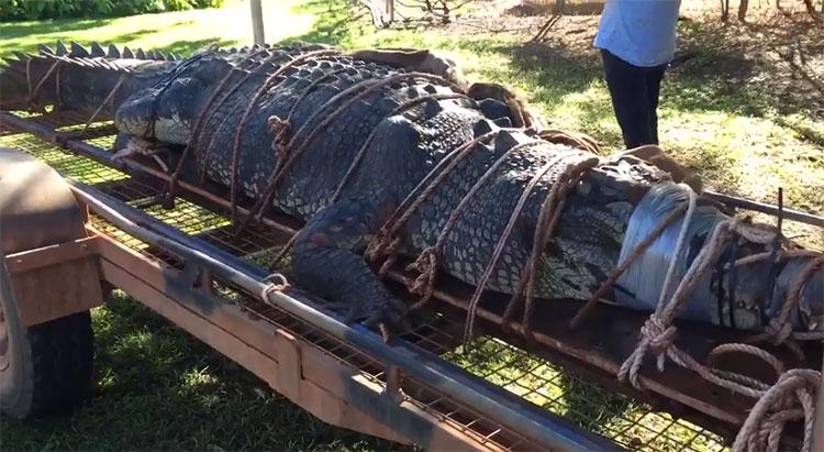Con cá sấu đực vừa lọt bẫy.