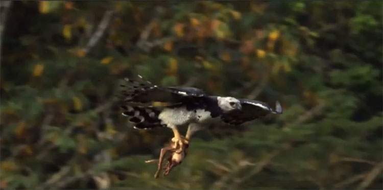 Đại bàng Harpy