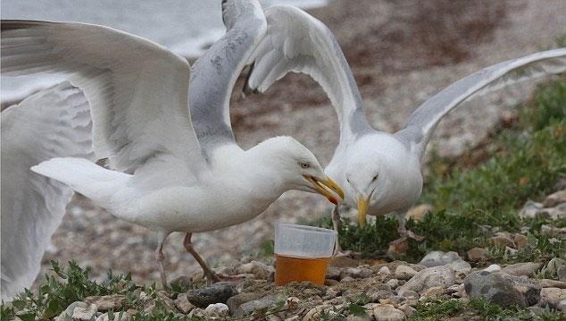 Ăn phải thức ăn thừa có chứa cồn khiến các chú Hải âu bị say