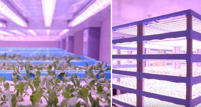Nông trại thông minh có thể sản xuất 3000 - 3500 tấn rau/năm.