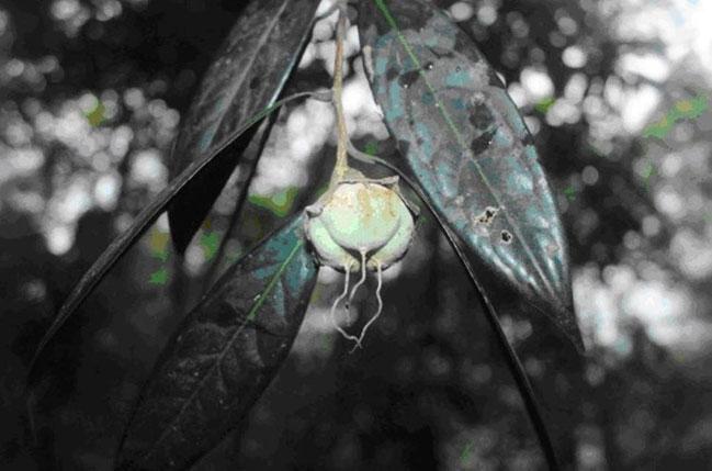 Quả trà mi Hà Tĩnh (Camellia hatinhensis)