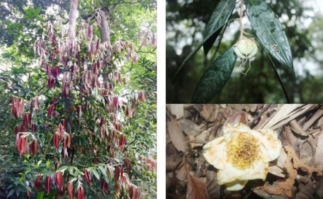 Trà mi Hà Tĩnh (Camellia hatinhensis)