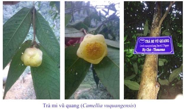 Cây và hoa trà mi Vũ Quang (Camellia vuquangensis)
