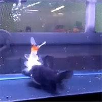 Đang bơi tung tăng trong bể, cá vàng bị cá mèo nuốt chửng