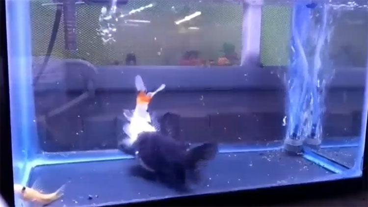 Cá mèo nuốt cá vàng