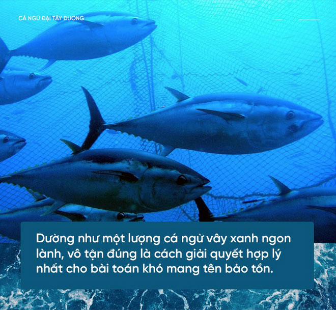 Hình dáng con cá ngừ vây xanh được tự nhiên thiết kế hoàn hảo để trở thành một vận động viên bơi lội.