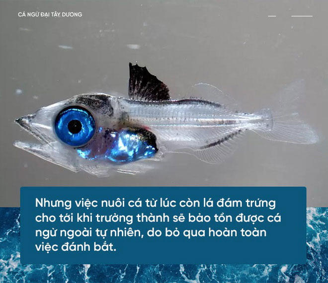 Cá ngừ non