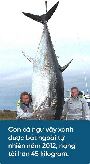 Con cá ngừ vây xanh bắt được ngoài tự nhiên năm 1012